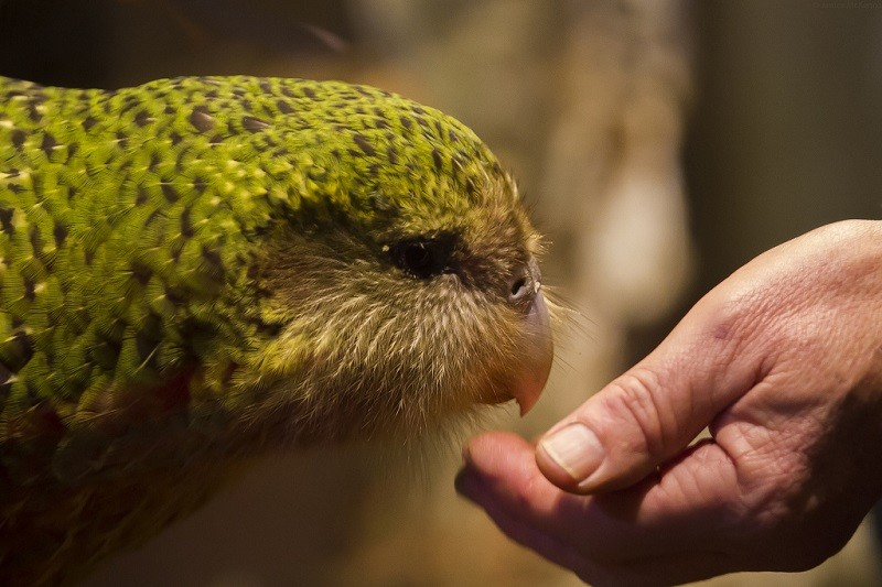 kakapo bird The chubby, land-bound kakapo is so uninterested – and hopeless – at mating that the native new zealanders now number just 124.